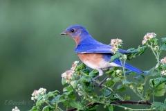 Male Eastern Bluebird  on Raspberry Branch