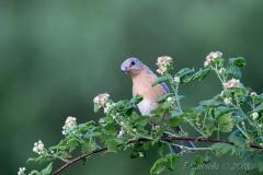 Female Eastern Bluebird  on Raspberry Branch Head Tilt