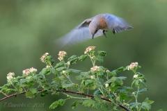 Hovering Female Eastern Bluebird  on Raspberry Branch