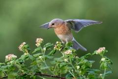 Landing Female Eastern Bluebird  on Raspberry Branch