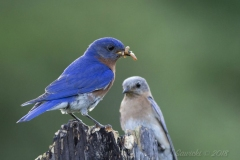 Eastern Bluebird Pair - Male with Mealworm