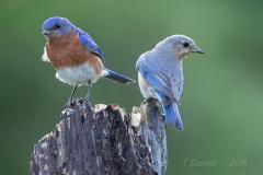 Eastern Bluebirds Pair on Stump