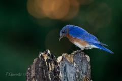 Male Eastern Bluebird with Solar Flare on Stump