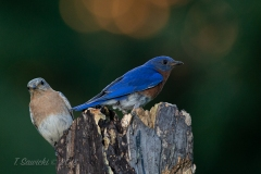 Eastern Bluebird Pair with Flare