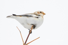 Snow Bunting From Below