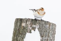 Snow Bunting on Stump