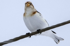 Snow Bunting with Corn