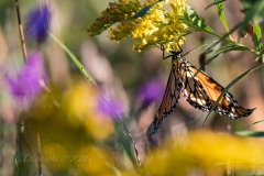 Monarch Upside Down