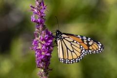 Monarch on Pretty Purple Flower