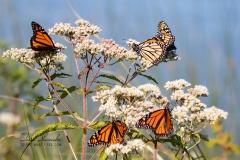 Monarchs on Milkweeds
