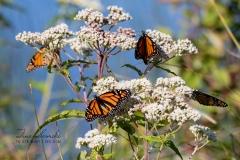 Multiple Monarchs on Milkweeds