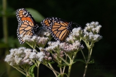 Monarchs by Two