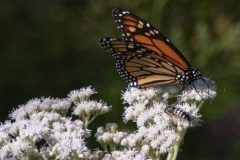 Monarch on Weeds - click for full