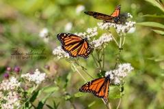 Monarchs by Three
