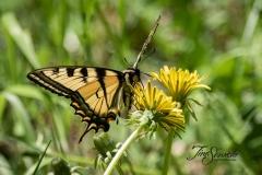 Giant Swallowtail on Dandelion