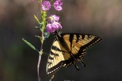 Giant Swallowtail on Marsh Flower