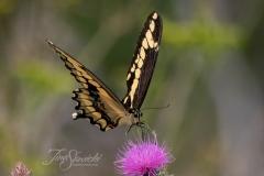 Giant Swallowtail on Thistle