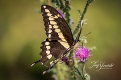 Giant Swallowtail in Weeds