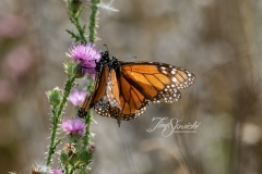 Monarchs Doing Their Thing
