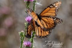 Monarchs Together
