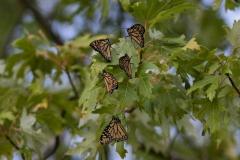 Monarchs Gathering
