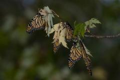 Monarchs Gathering on Branch 2