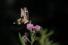 Giant Swallowtail on MilkWeed