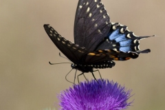 Spice Bush Swallowtail Side on Thistle