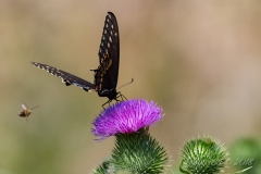 Spice Bush Swallowtail on Thistle with Bee