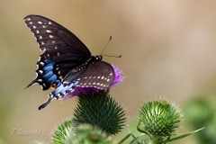 Spice Bush Swallowtail on Thistle Topside