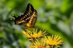 Swallowtail on Yellow Flower