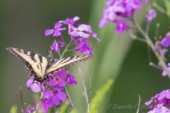 Swallowtail on Purple Flower