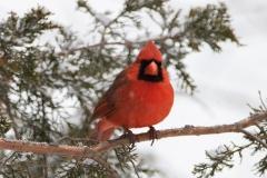 Male Northern Cardinal Facing