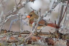Female Northern Cardinal In the Branches