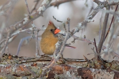 Female Northern Cardinal Among the Branches