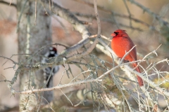 Male Northern Cardinal with Downy Woodpecker