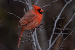 Male Northern Cardinal Side View