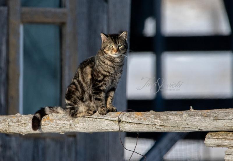 Tabby Barn Cat