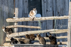 Barn Cats on Fence