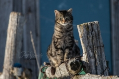 Watching Barn Cat