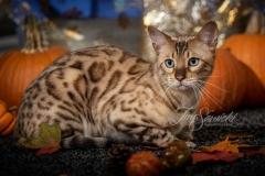 Taz the Bengal with Pumpkins