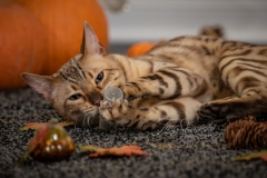 Taz the Bengal & Cat Nip