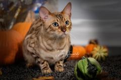 Taz the Bengal Posing with Pumpkins