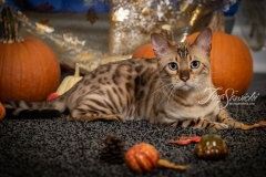 Taz the Bengal Laying with Pumpkins