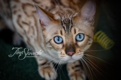 Taz the Bengal Stare