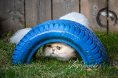 Pewter the Persian Under Tire