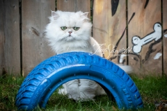 Pewter the Persian Over Tire