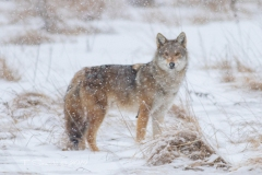Coy-Wolf in Snow Storm