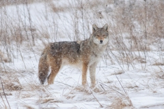 Coy-Wolf in Snow Watching