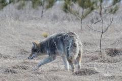Random Sighting Coy-Wolf